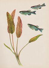 Antique AQUARIUM FISH Print ZEBRA DANIO Tropical Fish Fishing Beach Decor 2930