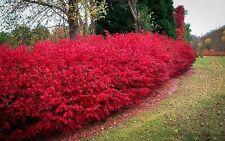 Burning Bush Shrub Fall Color Established Rooted - 1 Plant in 1 Gallon Pot
