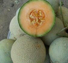 YUBARI KING MELON 50 FRESH SEEDS