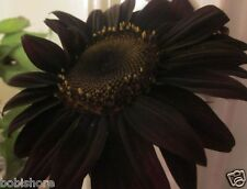 FREE POST AUSTRALIA Black Sunflower Seeds Exotic and Rare Garden Plant Seed