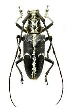 Insect Beetles Cerambycidae sp 32 mm Philippines
