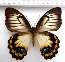 Papilio tydeus ssp.tydeus  Weibchen  ex  Morotai, Indonesien,  n229a