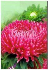 Aster seeds King Size Crimson Ukrainian seeds 0,2g Астра Кинг Сайз малина S1078