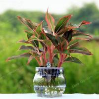 Poinsettia Biji Euphorbia Pulcherrima Bonsai Flowers Potted Garden 100 Pcs Seeds