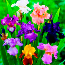 50 Pcs Seeds Iris Orchid Flowers Perennial Garden Bonsai Plants Free Shipping D