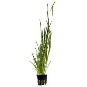 Vallisneria Spiralis Straight vallis live aquarium plant 10 plants