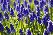 Grape Hyacinth-Bulbs=7+ Fall-Spring Planting Blue Flowers