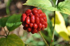 "100 graines Ginseng rouge de Corée/Chine,"" Panax Ginseng ""seeds livraison"