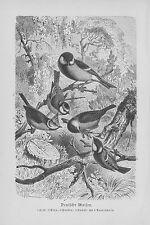 MEISEN  Paridae Blaumeise Tannenmeise Haubenmeise   Holzstich 1891