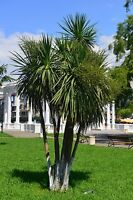 ** Keulenlilie kann auch für eine Zimmerpalme gehalten werden - dekorativ.