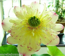 10 Ms Bury Bonsai Lotus Seeds Bowl Nelumbo Nucifera Pond Fragrant Plants Flower
