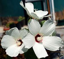 12 graines HIBISCUS DE SACRAMENTO(Hibiscus Lasiocarpus)G331 SEEDS SAMEN SEMILLAS