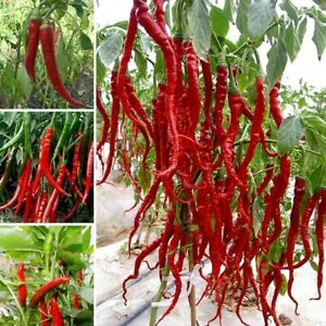 Giant Long Spices Spicy Red Chili Hot Pepper UK STOCK