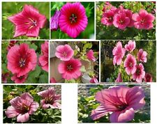 "Beautiful Hardy Annual "" Pink Malope Trifida "" 25 Seeds"