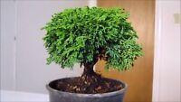 Japanese Mini Black Pine Seeds Bonsai Seed Evergreen Bonsai Home Garden Mini