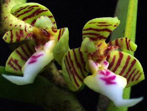 Orchid Trichoglottis geminata Mounted Species
