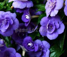 Achimenes DOUBLE BLUE ROSE  rhizome African Violet kin
