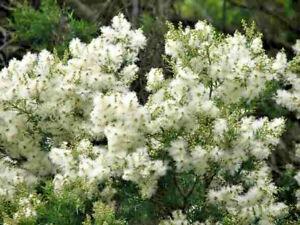 100 X SNOW IN SUMMER SEEDS,MELALEUCA LINARIFOLIA,WHITE FLOWERS GARDEN SHRUB