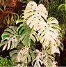 100 Pcs/bag Monstera variegated seeds rare tree, mixed color, fresh seeds farmer