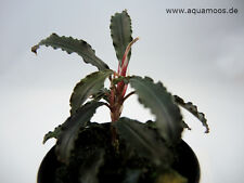 "Bucephalandra sp. ""red mini"" , Bucephalandra catherinae red , rar + wunderschön"