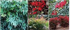 Red Nandina Red Berry Bush Shrub 15 + Seeds