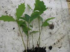 5 x bonsai trees starter Quercus robur English oak winterhardy