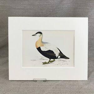 1860 Eider Duck Ducks Birds Victorian Hand Coloured Original Antique Print