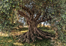 Fototapete OLIVE TREE 368x254 alter Olivenbaum, Früchte, National Geographics