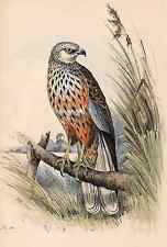 "Meyer's ""British Birds"" - ""Marsh Harrier"" - Hand-Colored Litho -1857"