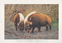 1910 Naturale Storia Stampa Double Sided ~ Selvatico Swine / River Hogs ~