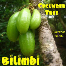 Huge! ~Bilimbi~ Averrhoa bilimbi Cucumber Fruit Tree Xl Size Potted Plant 3-4+ft
