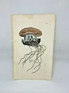 Medusa Jellyfish - 1783 RARE SHAW & NODDER Hand Colored Copper Engraving