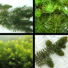 6 Hornwort Starter Pond Plants Great Oxygenator And Spawning Season Protects Fry
