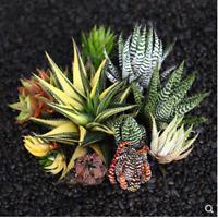 Haworthia attenuata albovariegata Haworthia fasciata Succulent Beautiful Plant