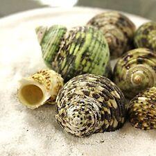 """1/2 lbs Green Turbo Sea Shell 1.5"""" to 2.5"""" for Hermit Crab, Aquarium & Air Plant"""
