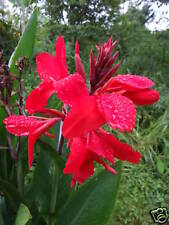 Red Dwarf Canna - EASY TO GROW Great for patio tubs!! + EXTRA FREE!