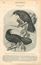 Couple de Géocoucous Gould's Neomorpha Oiseau d'Australie GRAVURE OLD PRINT 1860
