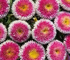Aster Pompon Hin 00006000 Omaru Callistephus Chinensis - 20 Seeds