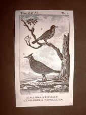 Allodola triviale e Capelluta Incisione rame del 1813 Buffon Uccello Ornitologia