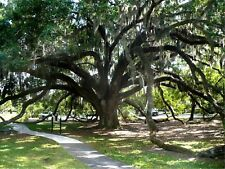 Live Oak   Quercus virginiana  Bonsai Tree  20 Fresh Seeds from Trees in Florida