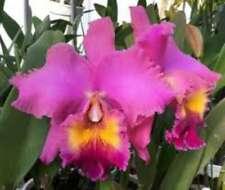 Rlc. Agatha Lim Orchid Plant