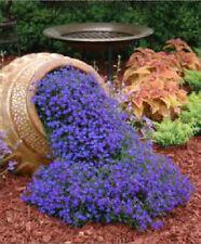 Lobelia Lilac Cascade 200 Seeds Beautiful Ground Cover Rock Garden