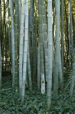 Phyllostachys pubescens (Moso Silver Bamboo) - 20 Rare fresh plant seeds