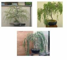 Bonsai Weeping Willow Trees Live Japanese Large Bundle Plants Thick Trunks Soil