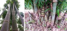 Dendrocalamus giganteus. 50 bamboo seeds.Giant clumping bamboo. Edible shoots.