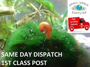 Red Ramshorn Snails - Aquarium Snails, Fish Tank, Pond snails, Fresh Water