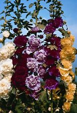 25 graines ROSE TREMIERE DOUBLE MELANGE(Alcea Rosea Plena)G820 SEEDS SAMEN SEMI