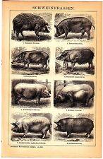 ca1890 PIGS PIG BREEDS  Antique Lithograph Print
