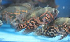 Live Tiger Oscar Cichlid for fish tank aquarium
