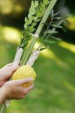 Kosher Lulav And Etrog Set From Israel For Sukkot Jewish Holiday Sukkot